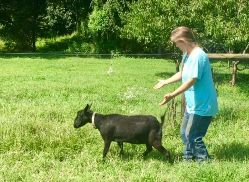 Breeding fainting goats